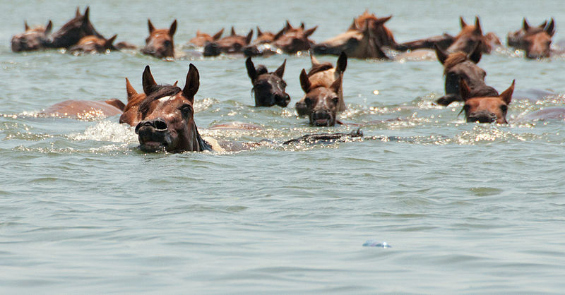 horses-swimming-in-the-river