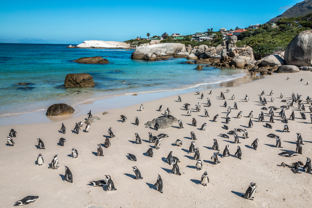 penguins-resting-on-the-public-beach
