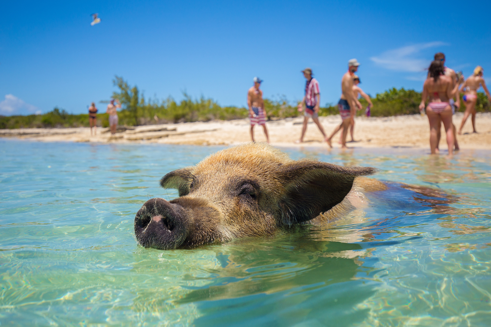pig-is-swimming-in-sea-bahamas